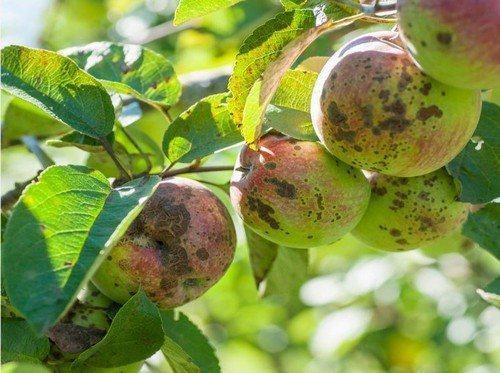Чем обработать яблони и груши от парши. 5 способов борьбы с паршой на яблонях и грушах