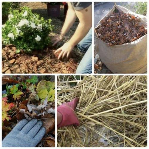 Как сохранить хризантему в горшке до весны. Хризантема зимой в горшке — где сохранить