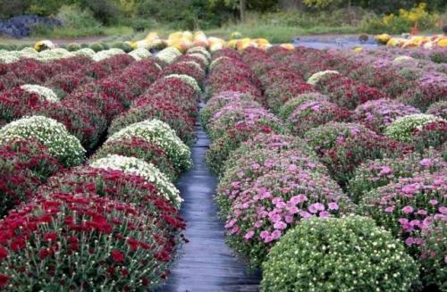 Выращивание хризантем в горшках на продажу. Выращивание хризантемы мультифлора в горшках