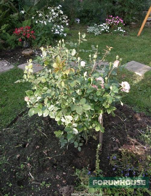 Чем укрыть розы на зиму если нет лапника. Корни – окучивать или нет