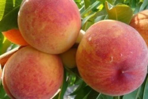 Лучшие сорта персика для беларуси. Все предложения в категории Саженцы персика