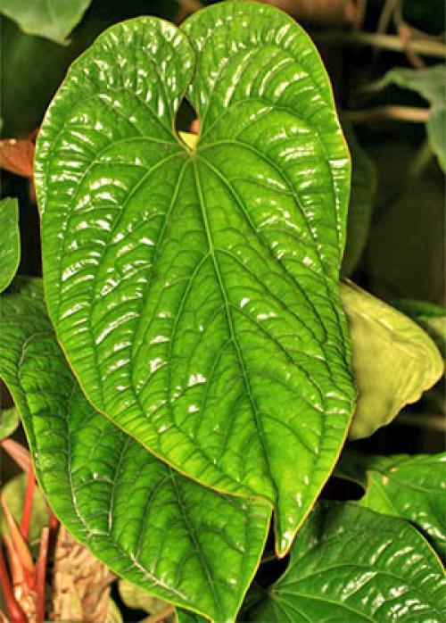 Антуриум уход в домашних условиях почему сохнут листья. Старение листьев антуриума