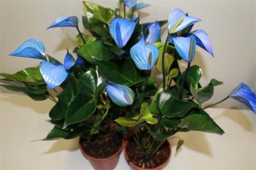 Комнатный цветок антуриум, как ухаживать, что он зацвел. Совет 2 : Антуриум. Уход за растением