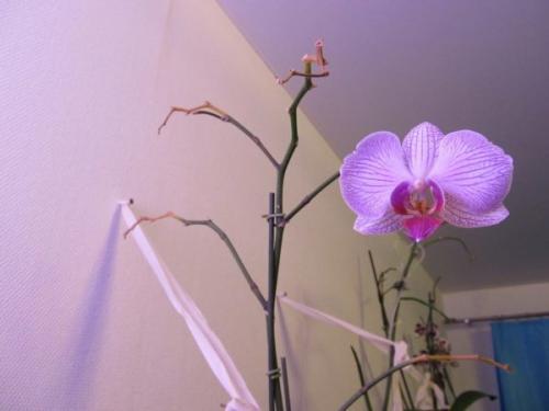 Как правильно обрезать цветонос у орхидеи Фаленопсис после цветения. Нужно ли обрезать орхидею после цветения