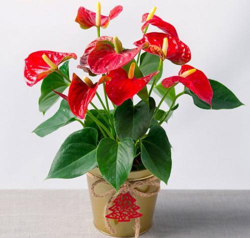 Домашние цветы антуриум и уход за ними. Антуриум