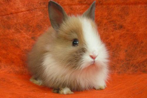 Декоративные кролики сколько живут. Как долго живут декоративные кролики