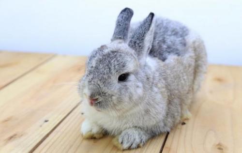 Породы декоративных кроликов. Голландский карликовый кролик