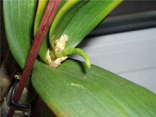 Орхидея не цветет, что делать, чтобы зацвела. Причины отсутствия