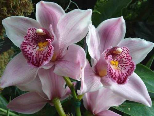 Орхидея фаленопсис не цветет, что делать. Как и когда цветет орхидея фаленопсис?