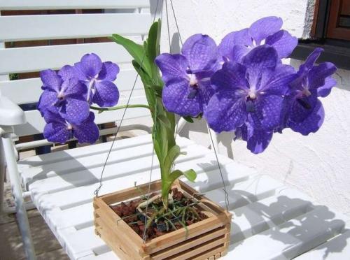 Орхидея ванда уход за деткой орхидеи. Уход
