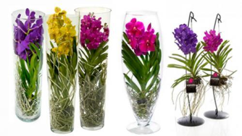 Орхидея ванда в стекле. Орхидея ванда – красивая, нежная, капризная