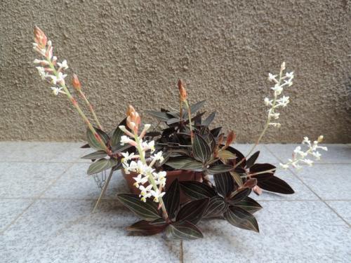 Лудизия драгоценная орхидея уход в домашних. Уход за орхидеей лудизия в домашних условиях