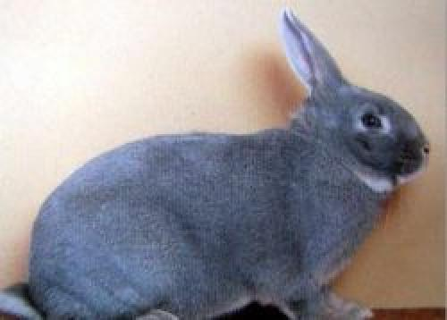 Декоративный Кролик породы белка. Кролик породы белка