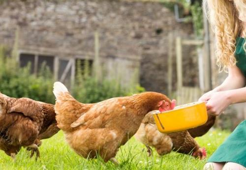 Нормы кормления кур-несушек в домашних условиях зимой. Нормы кормления