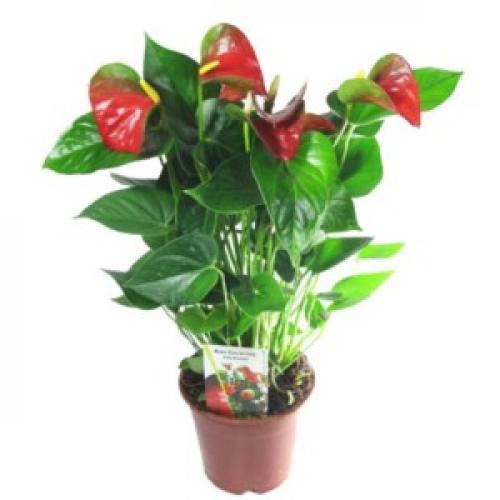 Anthurium red king уход в домашних условиях. Антуриумы сорта ред (