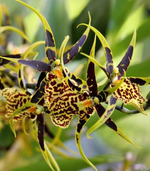 Орхидея Камбрия болезни.