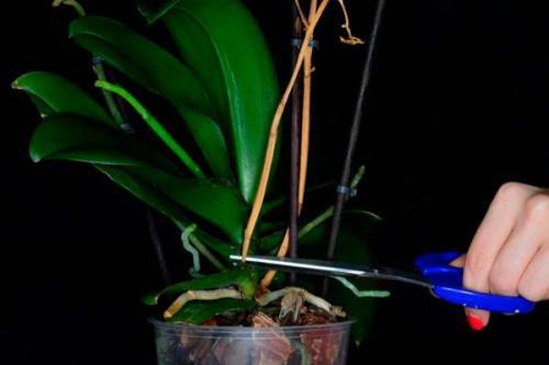 Как обрезать отцветшую орхидею. Зачем орхидею нужно обрезать после цветения