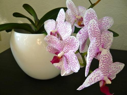 Как заставить орхидею цвести круглый год.