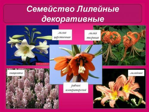 Растения Лилейные комнатные. Общая характеристика и классификация семейства Лилейных