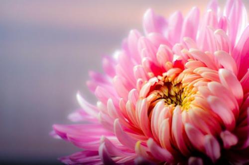 Хризантемы виды. Многолетние хризантемы – сорта, фото