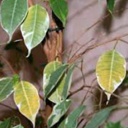 Фикус наташа опадают листья что делать