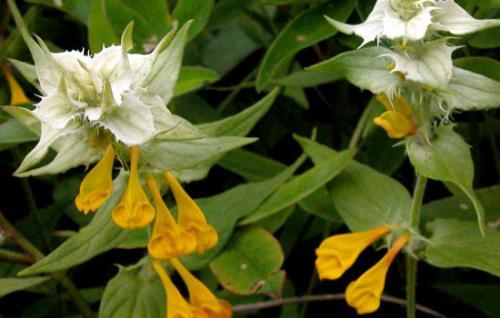 Иван-да-Марья растение описание где растет. Общие сведения о растении Иван-да-Марья