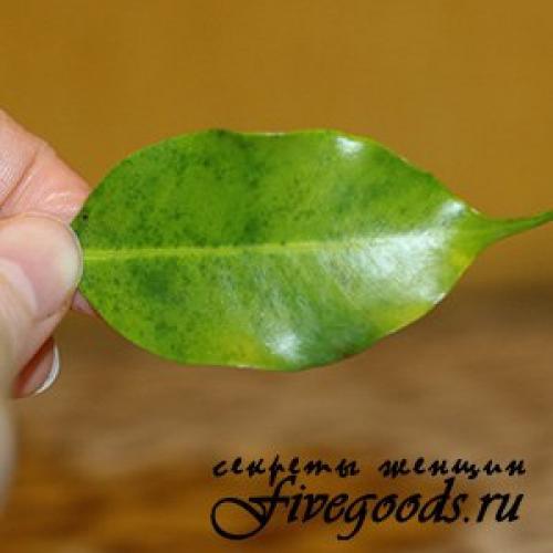 У фикуса опали все листья можно ли его спасти? Почему фикусы сбрасывают листья 04