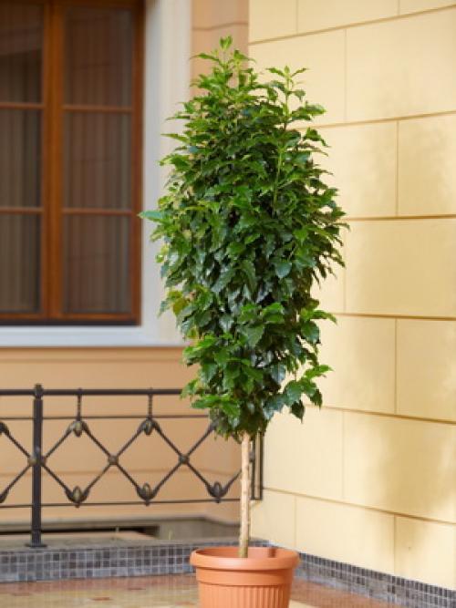Как вырастить кофейное дерево дома. Уход за кофейным деревом в домашних условиях 19