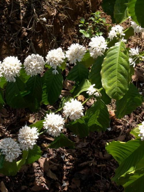 Как вырастить кофейное дерево дома. Уход за кофейным деревом в домашних условиях 11