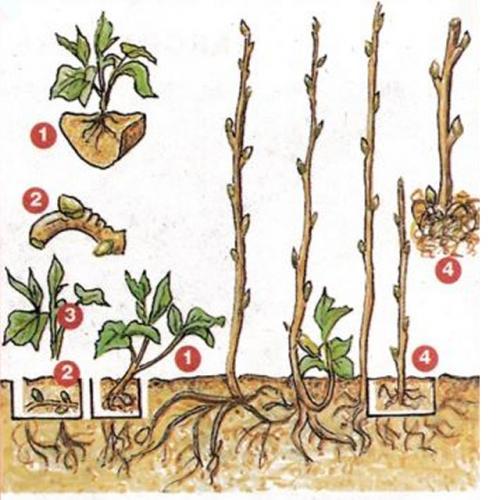 Размножение малины одревесневшими черенками