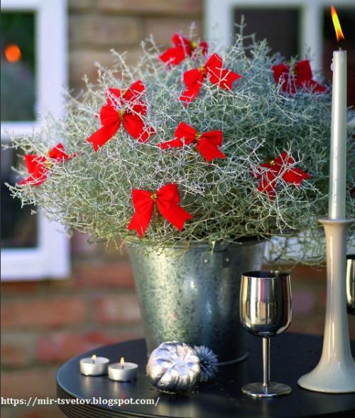 Калоцефалус засох. Калоцефалус - серебристый куст в цветочном горшке, который украсит дом не только в праздничные дни