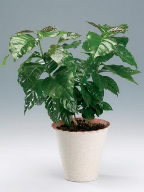 Как вырастить кофейное дерево дома. Уход за кофейным деревом в домашних условиях 09