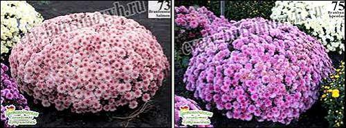 Как зимует хризантема мультифлора. Зимовка маточника хризантемы мультифлора