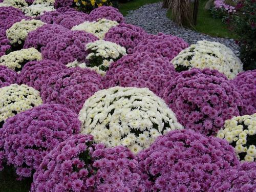 Шаровидные хризантемы посадка осенью. Секреты хризантемы шаровидной: выращивание и уход не займут много времени