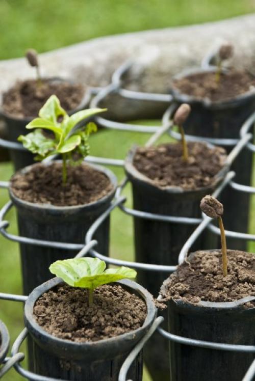 Земля для кофейного дерева. Почва/грунт для кофейного дерева