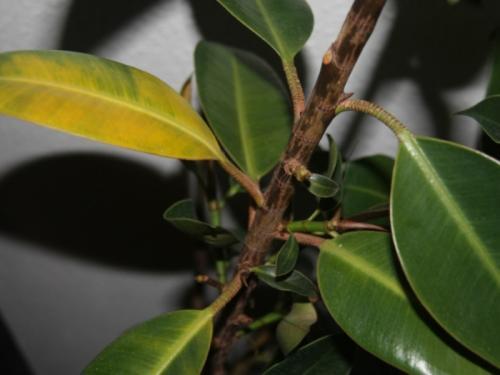 Фикус желтеют и опадают листья, что делать. Естественные причины пожелтения