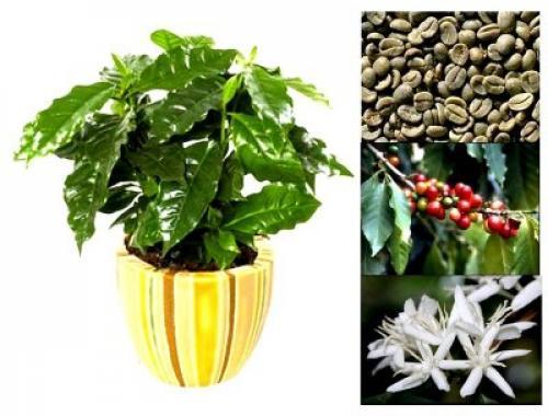 Как вырастить кофе арабика в домашних условиях. Уход после покупки
