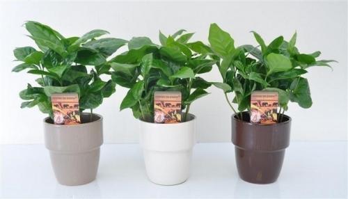Как вырастить кофейное дерево дома. Уход за кофейным деревом в домашних условиях 18