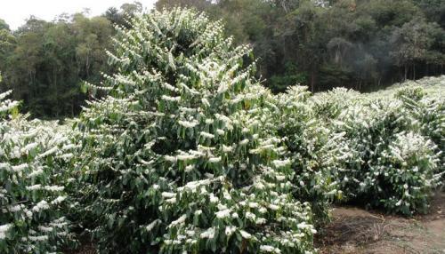 Как вырастить кофейное дерево дома. Уход за кофейным деревом в домашних условиях 17