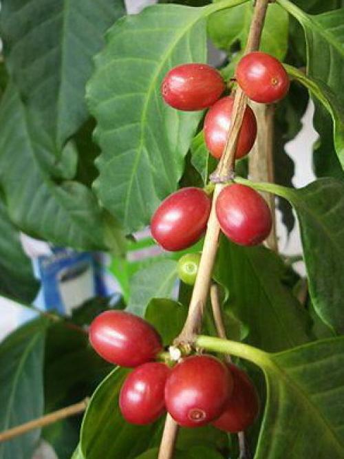 Как вырастить кофейное дерево дома. Уход за кофейным деревом в домашних условиях 13
