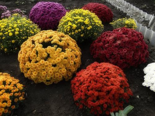Шаровидная хризантема Мультифлора в саду. Выращивание хризантем мультифлора: правила посадки и ухода