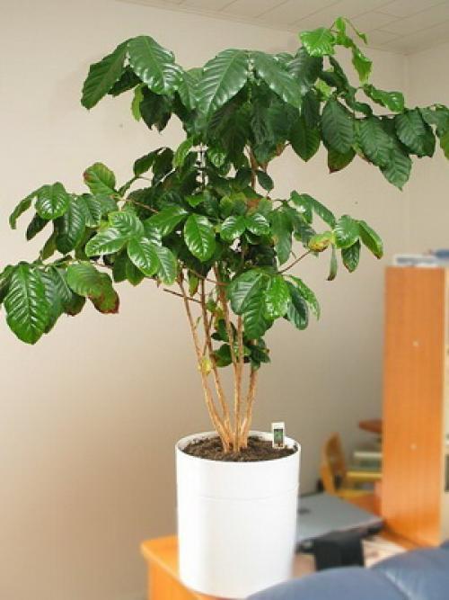 Как вырастить кофейное дерево дома. Уход за кофейным деревом в домашних условиях 15