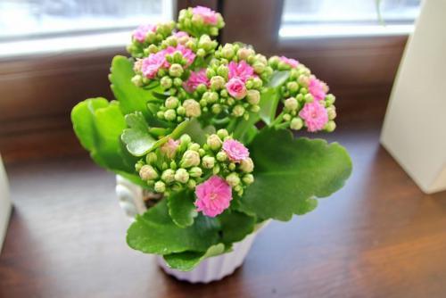 Каланхоэ завяли цветы. Почему гибнет каланхоэ? Ошибки в уходе за каланхоэ