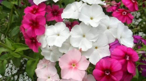 Цветы флоксы однолетние или многолетние. Однолетние флоксы: описание сортов и особенности выращивания