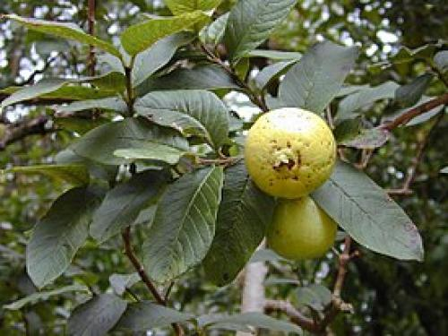 Псидиум или гуава. Псидиум Гуайява (Гуава) из семян.