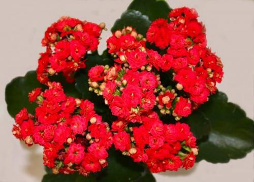 Почему у каланхоэ краснеют листья. Как добиться эффекта крупных листьев и красоты цветения каланхоэ.