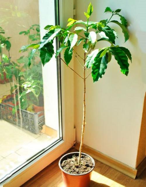 Ph почвы для кофейного дерева. Почва и дренаж