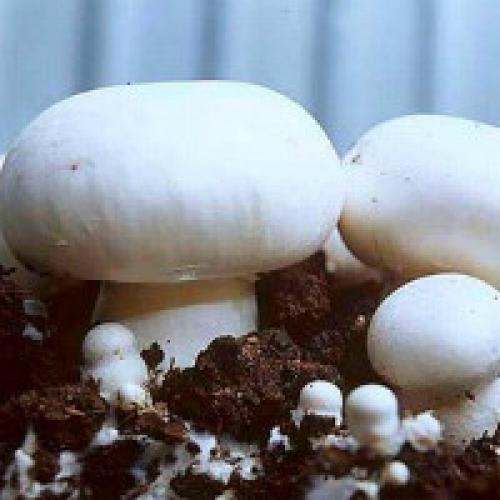 Как вырастить маточный мицелий грибов. Мицелий шампиньонов