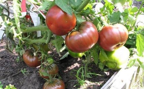 Отзыв о томате сорта поль робсон с фото. Описание внешнего вида