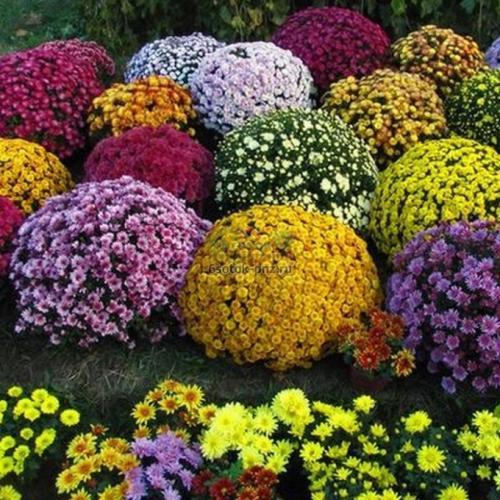 Как выращивать хризантемы мультифлора. Условия зимовки